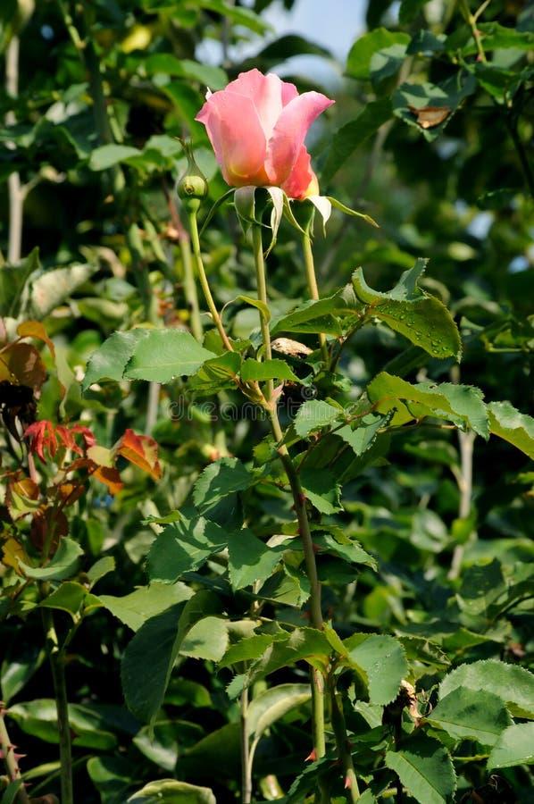 TALL ROSE FLOWRES PLANS I VÄRLDSHUCKLEY royaltyfria foton
