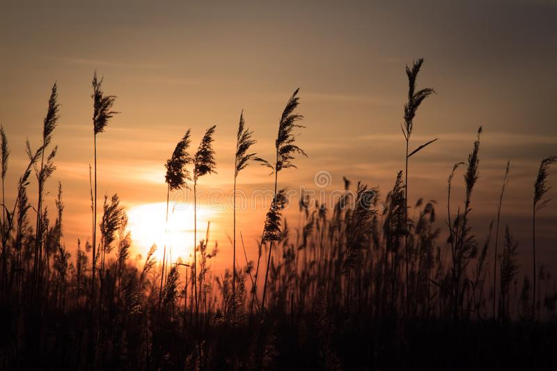 Tall rush in the rays of the rising sun. The tall rush in the rays of the rising sun stock photo
