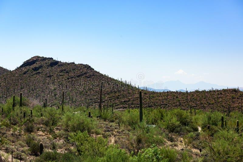 Tall Saguaro Cactus grow in the Sonoran-Desert Museum. Tall Saguaro Cactus grow in the Sonoran-Desert Museum setting in the desert of southeastern Arizona stock photos