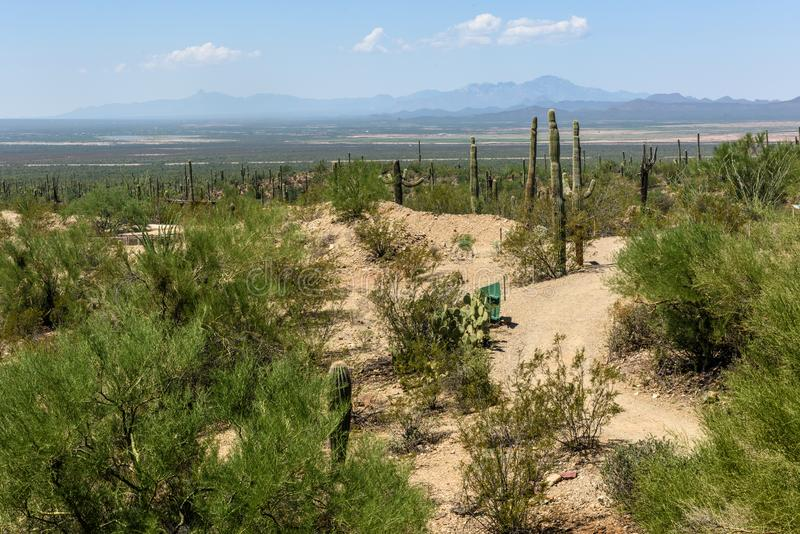 Tall Saguaro Cactus grow in the Sonoran-Desert Museum. Tall Saguaro Cactus grow in the Sonoran-Desert Museum with the hills of the local mountains loom in the royalty free stock photos