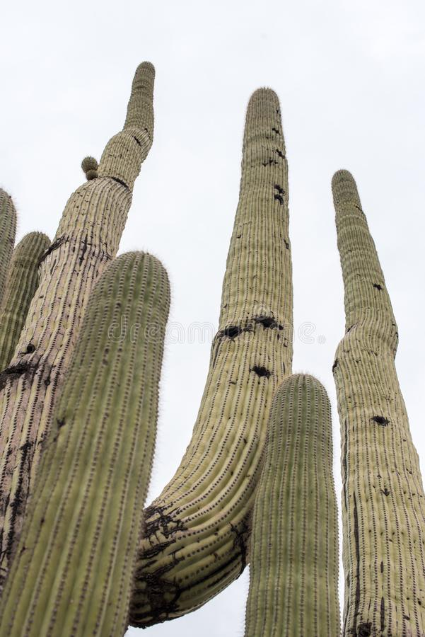 Tall Saguaro Cactus. Several tall Saguaro cactus reaching for the sky. View from bottom to top royalty free stock image