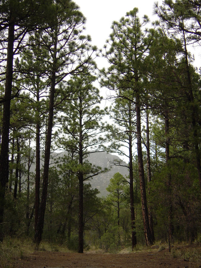 Tall, Spindly Conifer Trees in the Mountains of Arizona royalty free stock photos