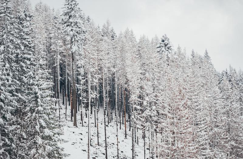 Tall spruce trees covered with snow in winter forest and cloudy sky background royalty free stock image