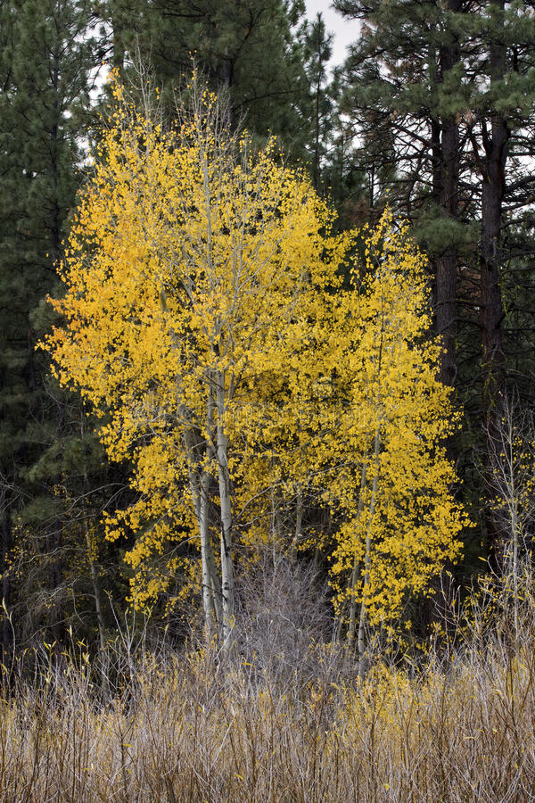 Download Tall Stand Of Yellow Aspens Stock Photo - Image: 27591082