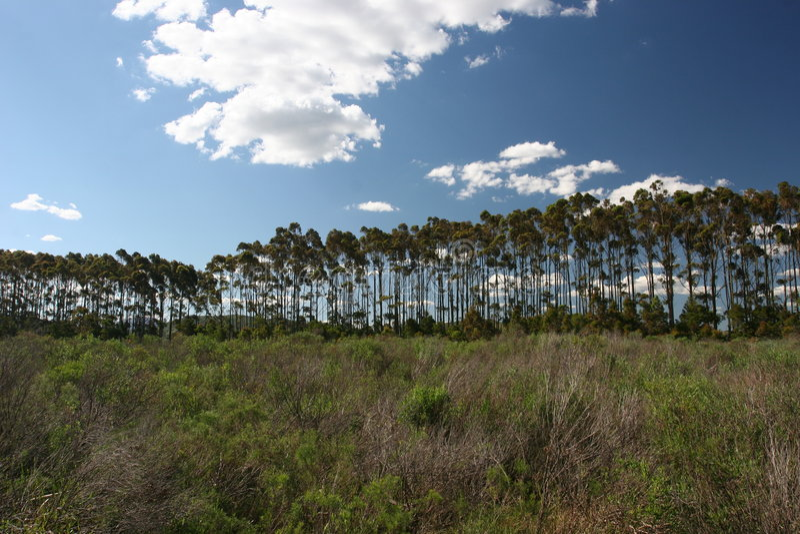 Tall Straight Trees royalty free stock photo