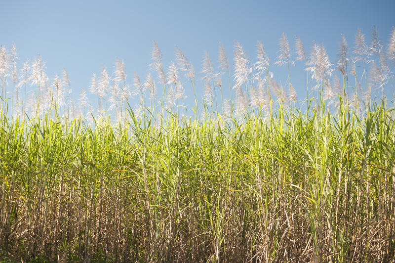 Tall sugar cane plants under blue sky. As background about agriculture or biofuels royalty free stock photography