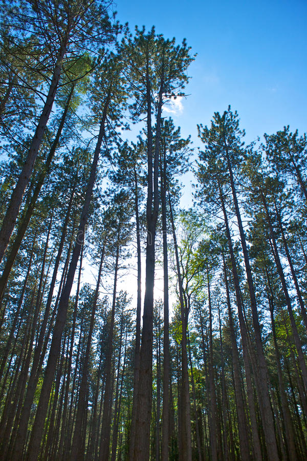 Download Tall Swaying Pines stock photo. Image of park, pine, woodlands - 22828560