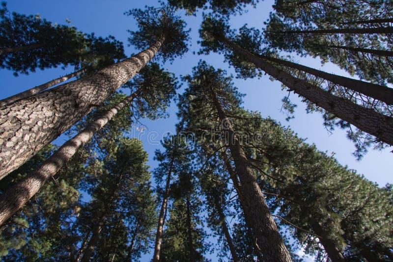 Tall, tall trees stock photography