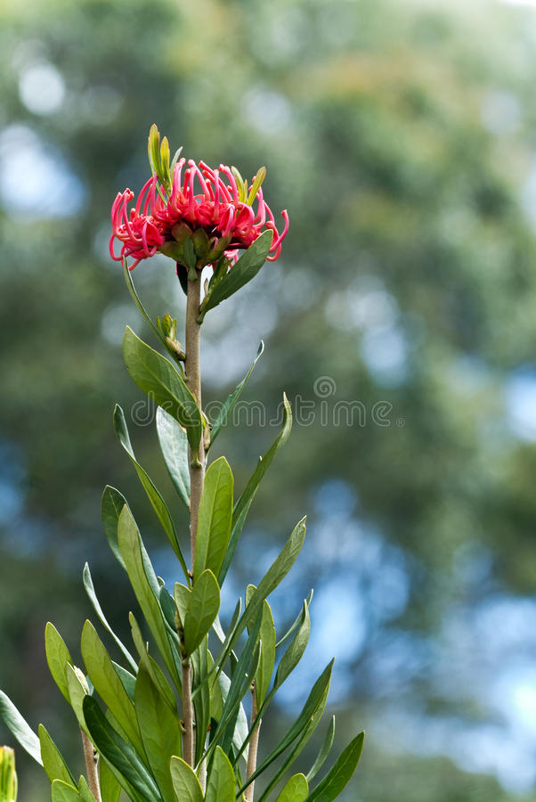 Download Tall Tasmanian Waratah, Telopea Truncata Stock Images - Image: 19764474