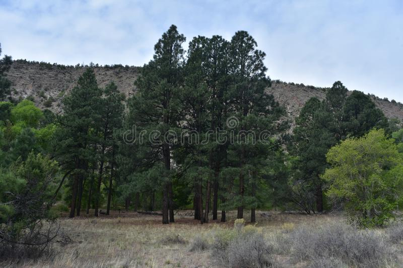 Tall Towering Evergreen Trees in New Mexico. Beautiful tall towering evergreen trees in New Mexico stock photo