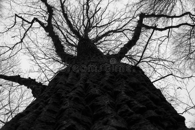 Tall tree crust close up. With camera pointing to the sky royalty free stock photo