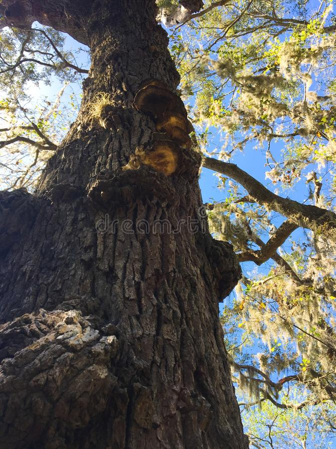 TALL TREE AT CUMBERLAND ISLAND, GEORGIA royalty free stock photo