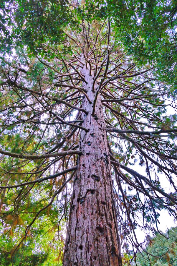 A tall tree with even truncated trunk and a large number of twisted branches in the park stock photos