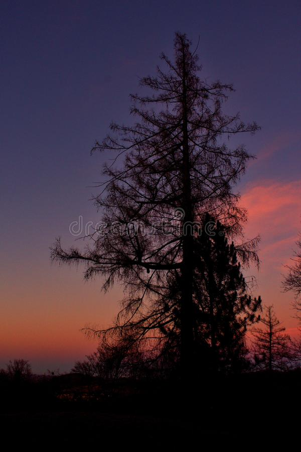The tall tree in the evening in winter season stock photography