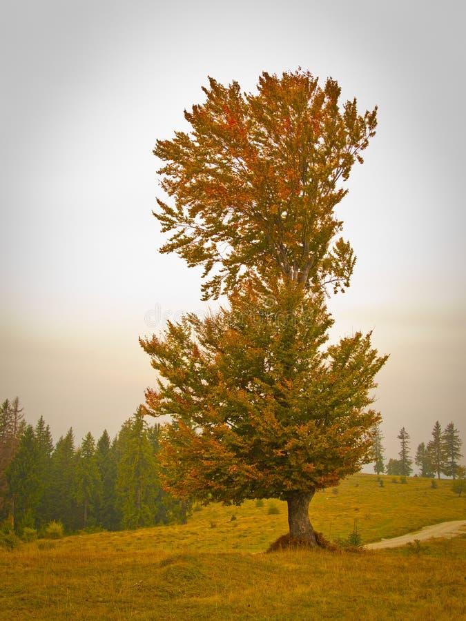 Tall tree in fall stock photos