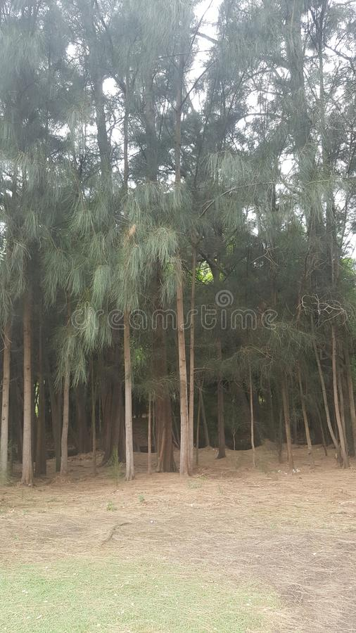 Tall tree forest stock image