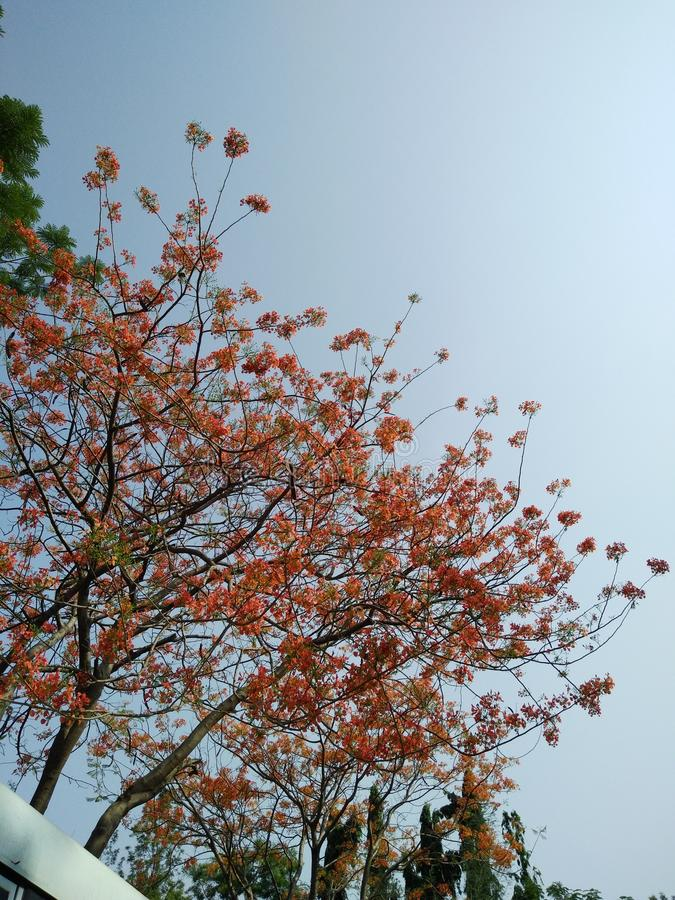 Tall tree with full of red flowers, under the sky, background and study stock photo