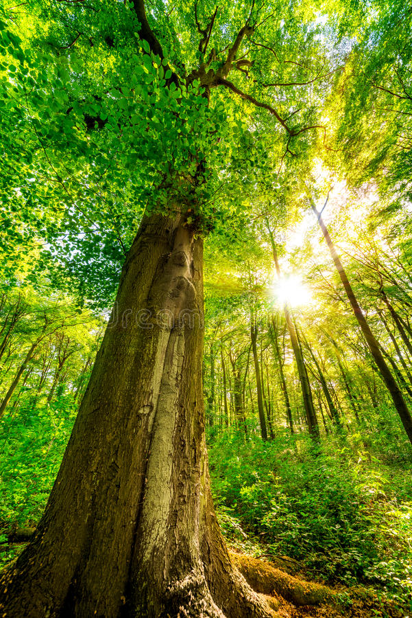 Free Tall Tree In Forest Stock Photos - 97065593