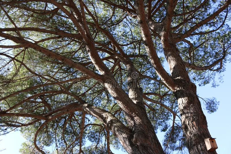 Tall tree pine stock photography
