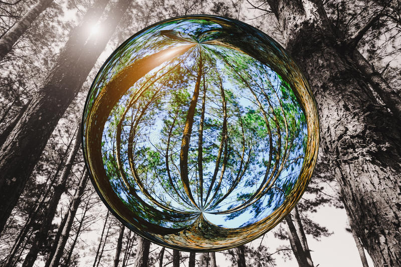 Tall tree with sun light in the forest in glass ball effect with black and white image style background.  royalty free stock photography