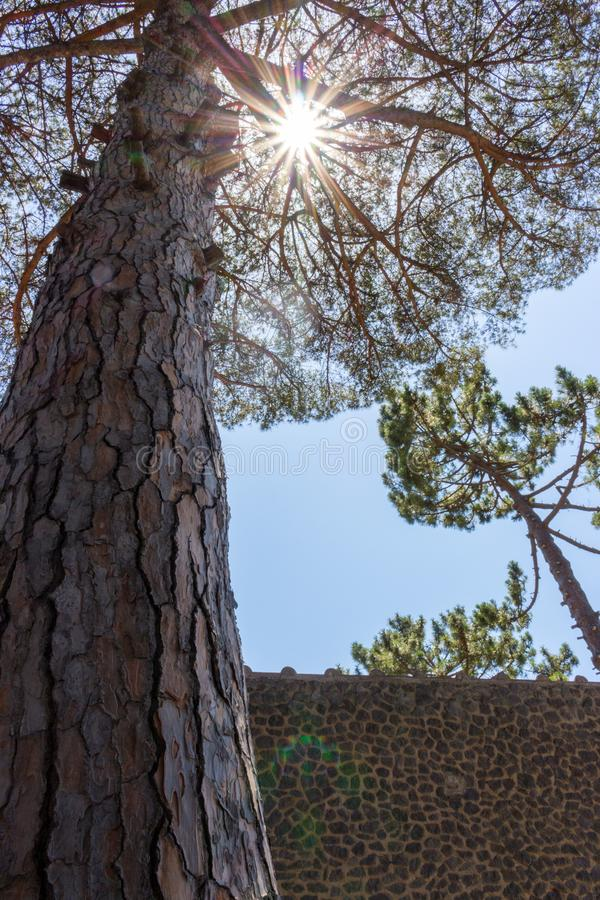 Tall tree with sun shining through crown bottom view. Sun rays through leaves. Italian beautiful landscape and nature. Summer forest. Outdoor concept royalty free stock photos