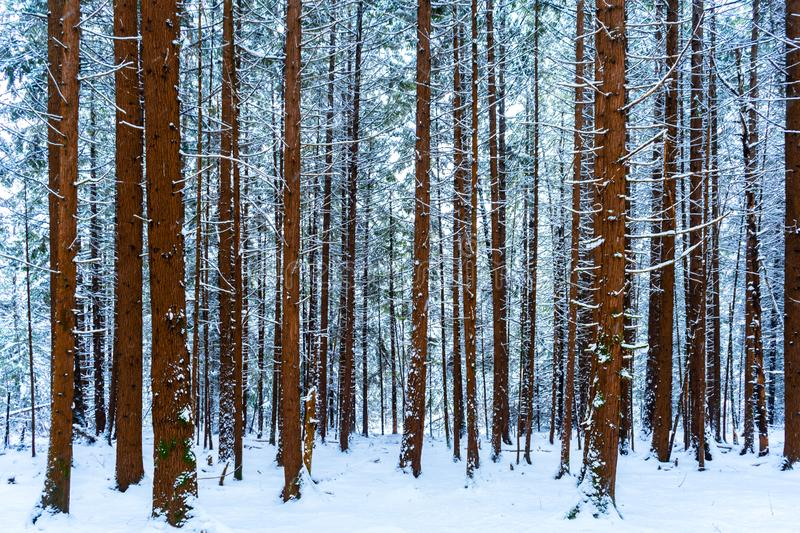 Tall tree trunks covered in snow in a snowy forest scene, with evergreen trees in the background, in winter. Brown bark and blue. Tree trunks covered in snow in stock photography