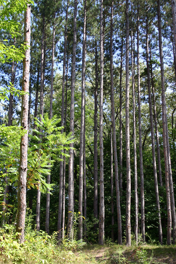 Tall trees. A group of tall red pine trees makes interesting and dynamic vertical lines stock image