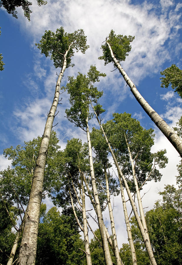 Tall Trees. Shot from low angle in a forest in Alaska, USA royalty free stock image