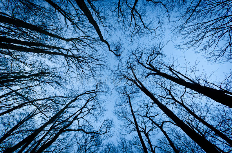 Tall trees royalty free stock photography