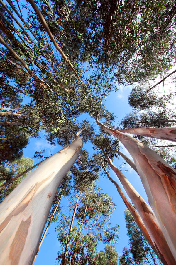 Tall Trees. A down view of some tall and slender trees under a bright cloudy blue sky royalty free stock photos