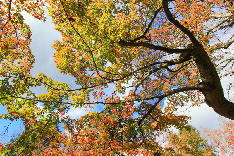 Tall trees in autumn period royalty free stock images