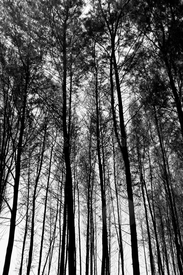 Tall Trees Background. A black & white background of tall trees in a tropical forest royalty free stock photos