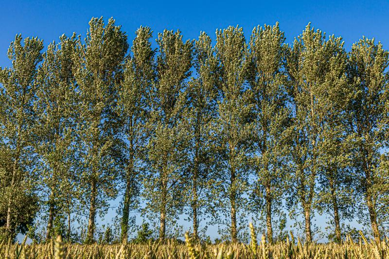 Tall Trees in the Countryside. Tall trees on the edge of an agricultural field, on a sunny summers day royalty free stock image
