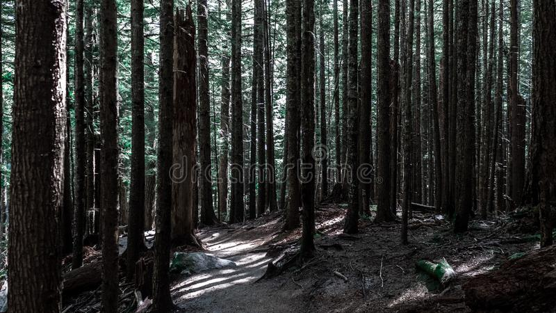 Tall trees in dark forest royalty free stock photo