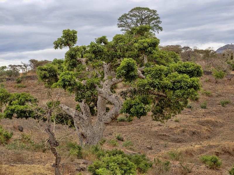 Tall trees dominate northern Ethiopia. The tall trees dominate northern Ethiopia stock photos