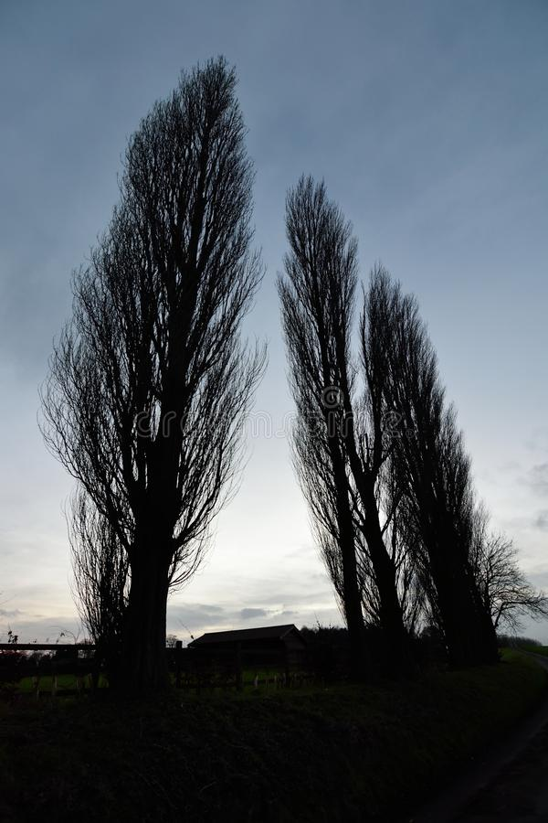 Tall trees royalty free stock photos