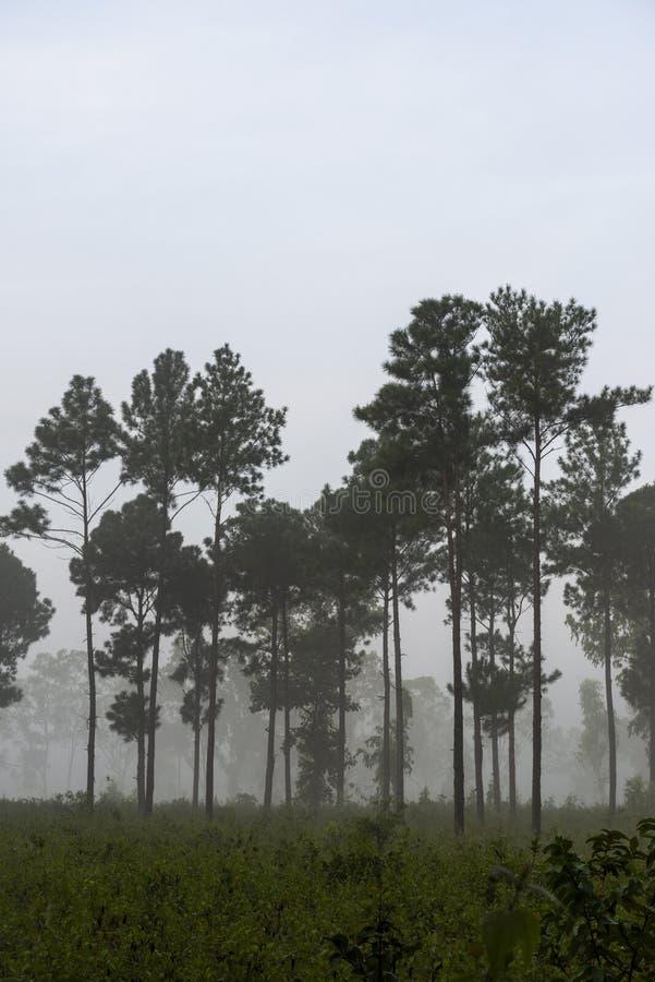 Tall trees in foggy morning near Nangur Village near Jagdalpur,Chhattisgarh, India. Asia royalty free stock photo