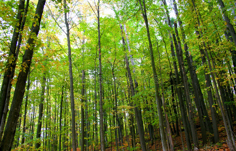 Tall trees in a forest. Wide angle shot of tall trees in a forest stock photos