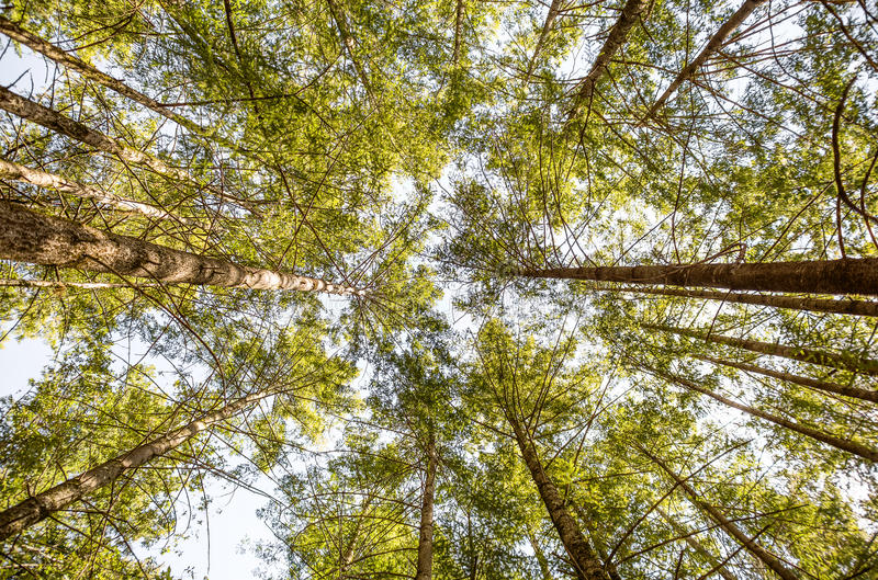 Tall Trees in a Forest stock images