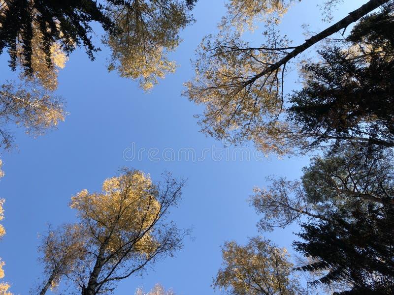 Tall trees framing a clear blue sky. The canopy of tall autumn trees framing a clear blue sky stock photos