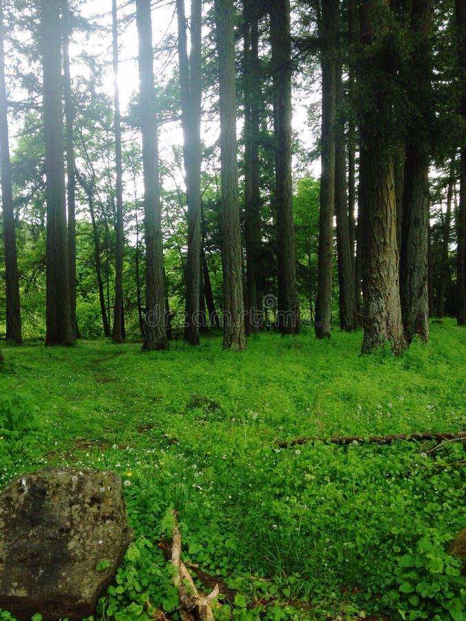 Tall trees royalty free stock photo