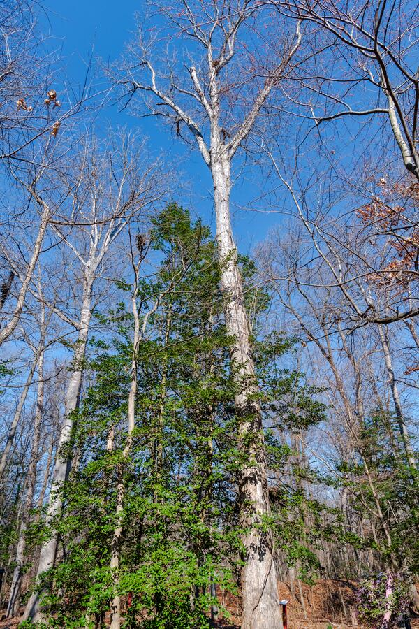 Very Tall Trees Growing Skyward. A vertical photo of trees reaching upward against a blue winter sky royalty free stock photo