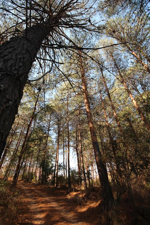 Africa - Trees - Lydenburg Mountains. Tall trees in Lydenburg South Africa with dappled sun light through the trees with a dirt road running through the forest royalty free stock photos