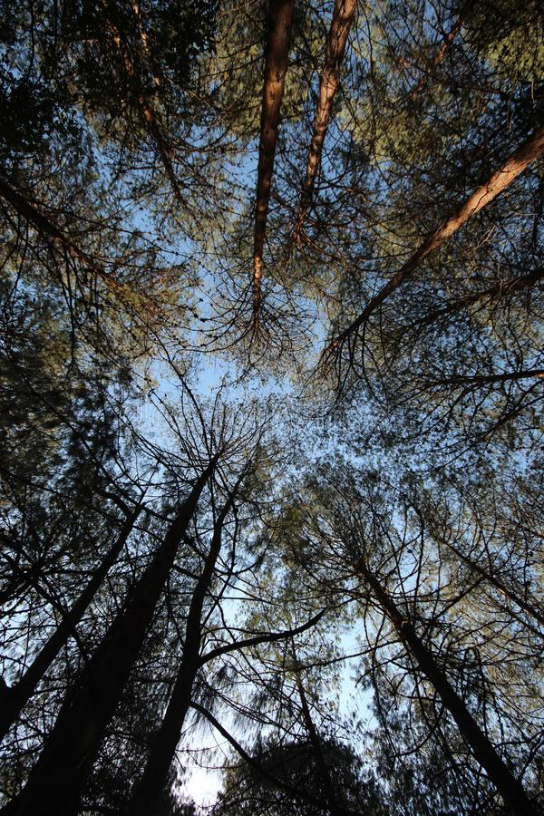 Africa - Trees- Lydenburg Mountains. Tall trees in Lydenburg South Africa with dappled sun light through the trees shot looking strait up through the trees into royalty free stock photos