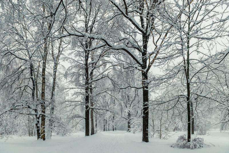 Tall trees in the park during the winter day stock photo