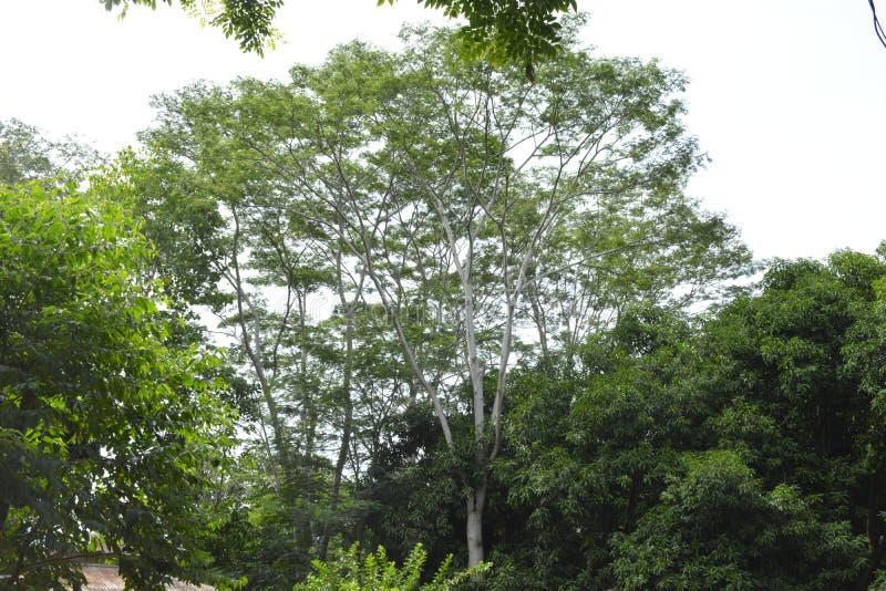 Tall trees represent high hopes stock photo