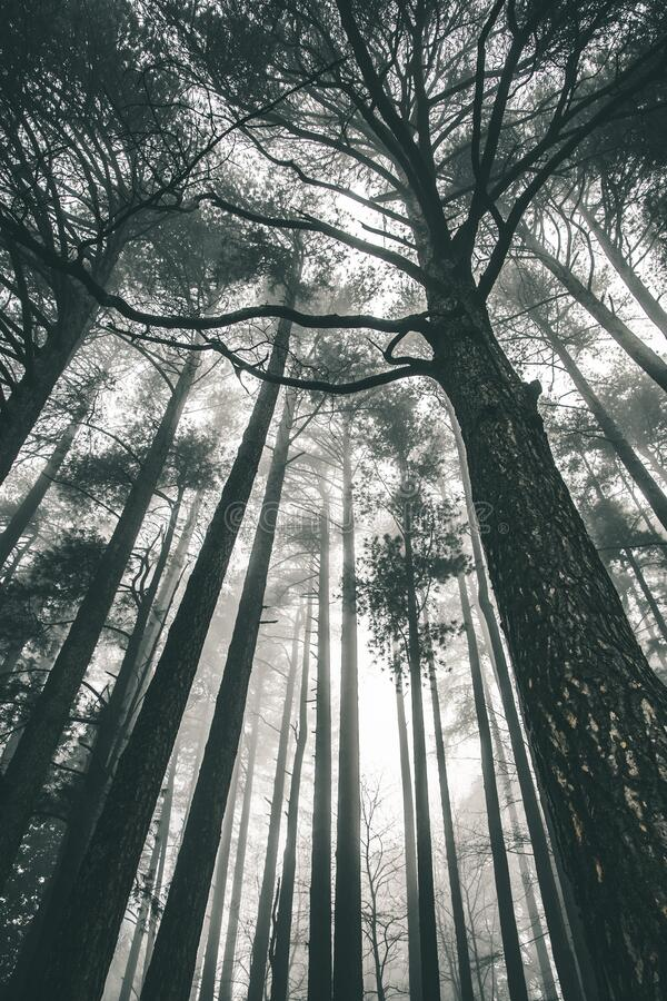 Tall trees are silhouetted against the fog stock photo