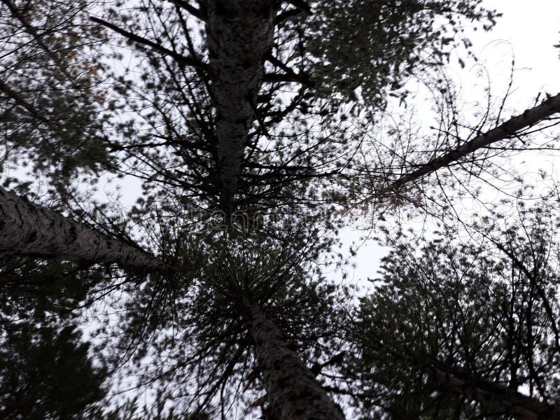 Tall Trees stock photo