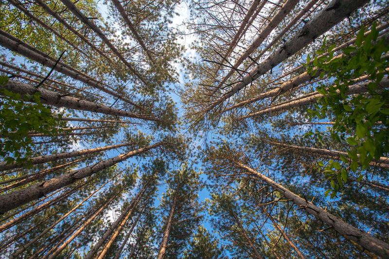 Download Tall Tres stock image. Image of forest, tall, leaves - 24464055