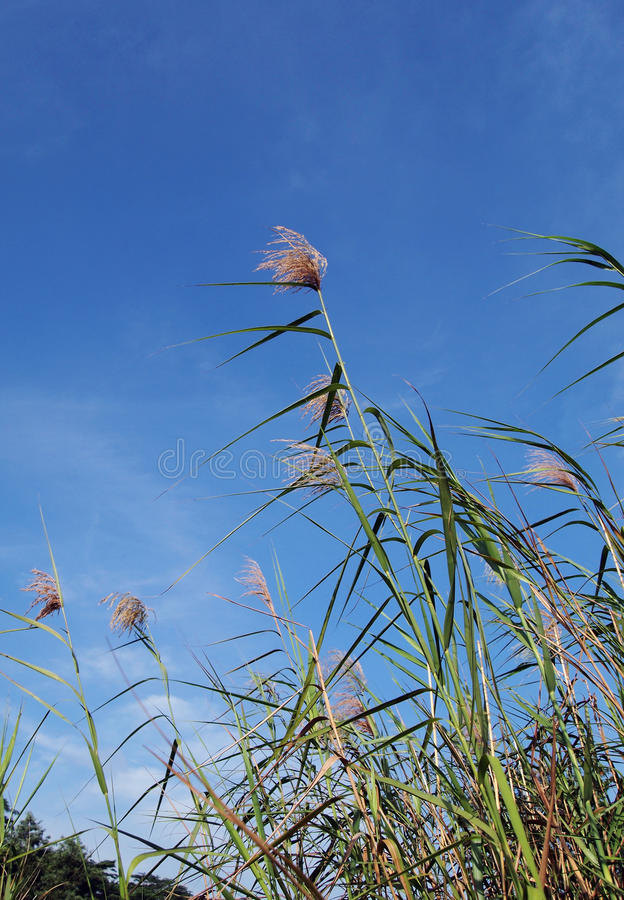 Download Tall Tropical Reeds And Blue Sky Landscape Royalty Free Stock Photography - Image: 21074347